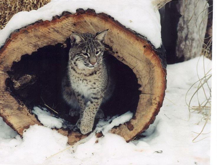 17 Best images about Bobcats on Pinterest   Cat paw print ...