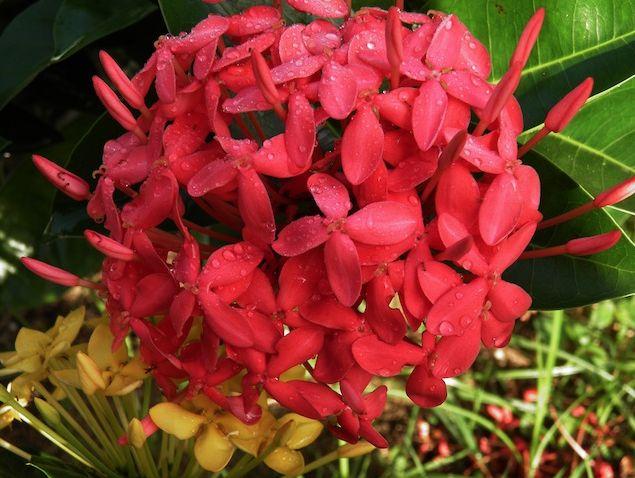Más flores en nuestro jardín en San Andrés, Colombia :) #HosteriaMarySol /more flowers, more happiness