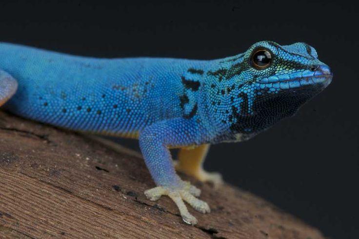 Blue Leopard Gecko | Lizard Species Index