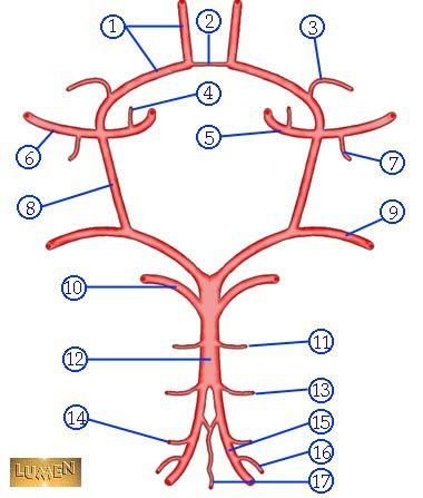 Circle of Willis - Brain Dissection