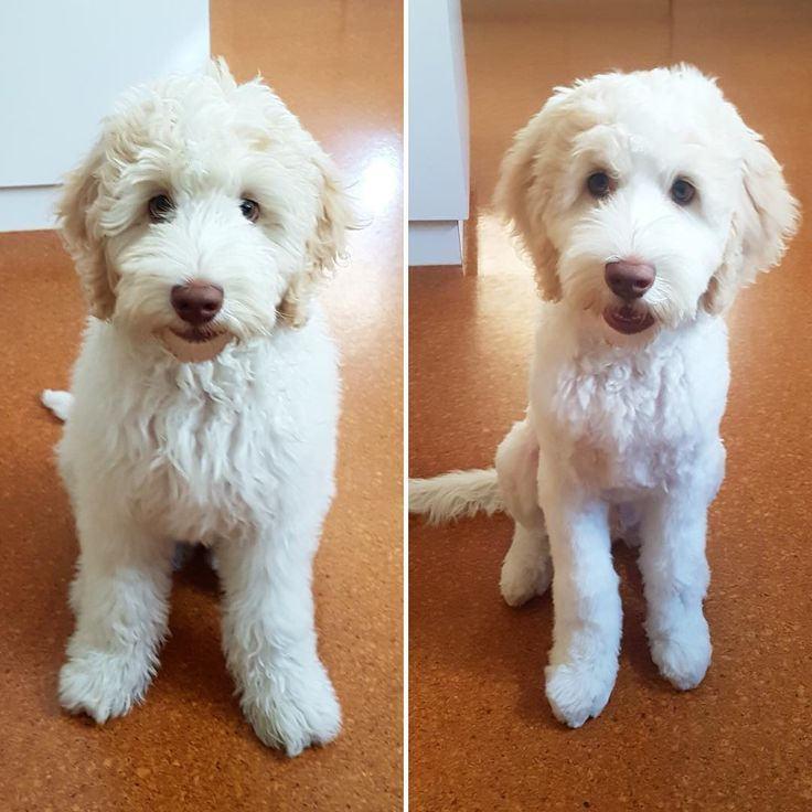 Goldendoodle Grooming Goldendoodle Haircuts Dog Haircuts Puppy
