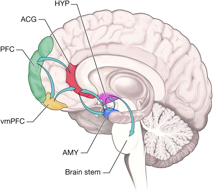 Medial Prefrontal Cortex Anatomy - 2018 images & pictures - Facts on ...