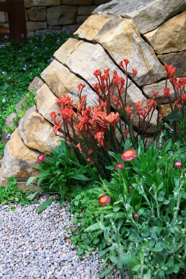 Anigozanthos & some Bracteantha bracteata Sundaze 'Magenta' mixed in from our #RHSChelsea best in show #garden #Australian #flowershow #flower #plant #flora