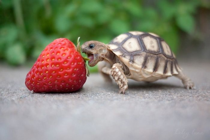 Taking it on...: Animals, So Cute, Strawberries, Funny, Turtles, Things, Nom Nom, Strawberry