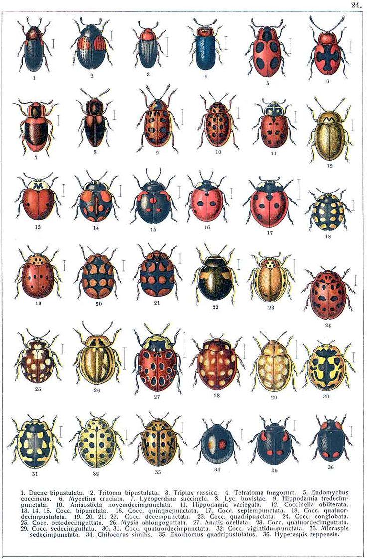 Georgiy Jacobson Beetles Russia And Western Europe
