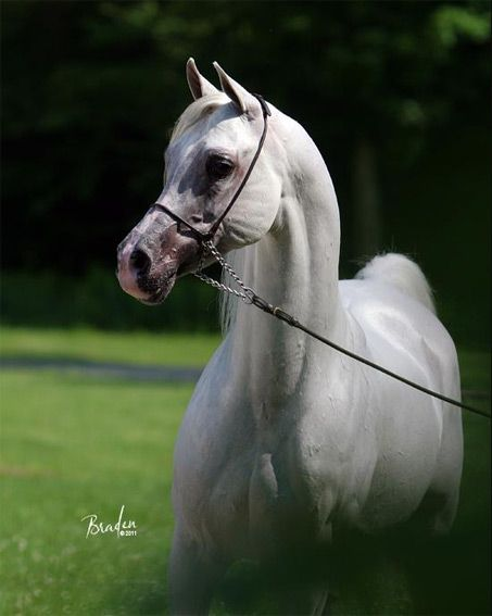 arabian show horses | Sol Debut - Show Horse Gallery, A Different Horse is Featured Every ...