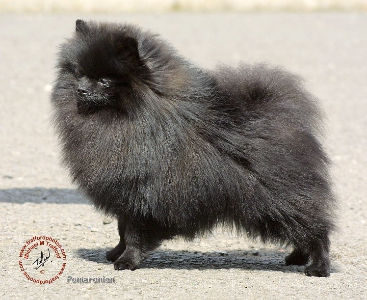Best Pomeranian Images On Pinterest Pomeranians Dogs And - Someone should have told this dog owner that pomeranians melt in water
