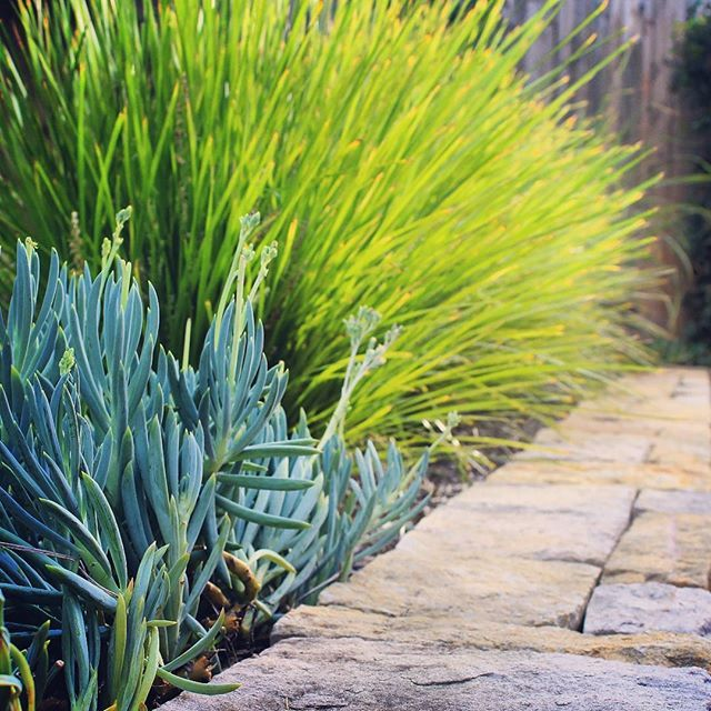 Senecio serpens and Lomandra 'tanika'...Instagram photo by @stonelotuslandscapes via ink361.com