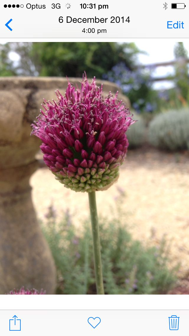 Allium Drumstick blooming in the bird bath garden