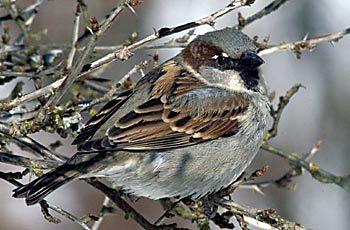 Varpunen  BirdLife Suomi - Pihabongaus