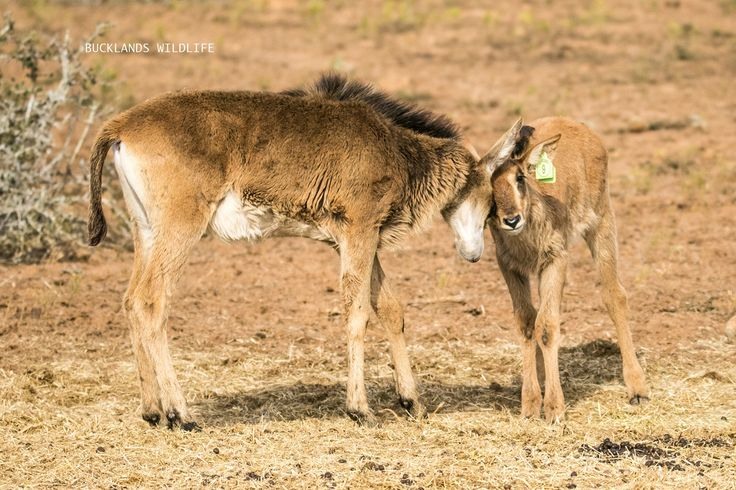 These two Sable calves are so loving towards one another! It was so special watching them interact with one another! #photography #bucklandsprivategamereserve  #sable #sablebreeding #sablecalves #bucklandswildlife #africa #southafrica
