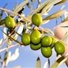 Fruit Tree, Fruit Trees, Fruit Tree Nursery Sale, Find Free Video Online