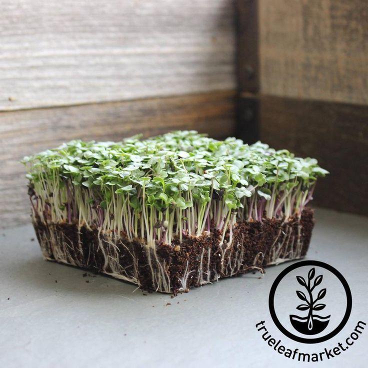 Basic Salad Mix - Microgreens Seeds