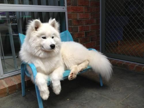 I love white dogs. Especially BIG FLUFFY WHITE DOGS