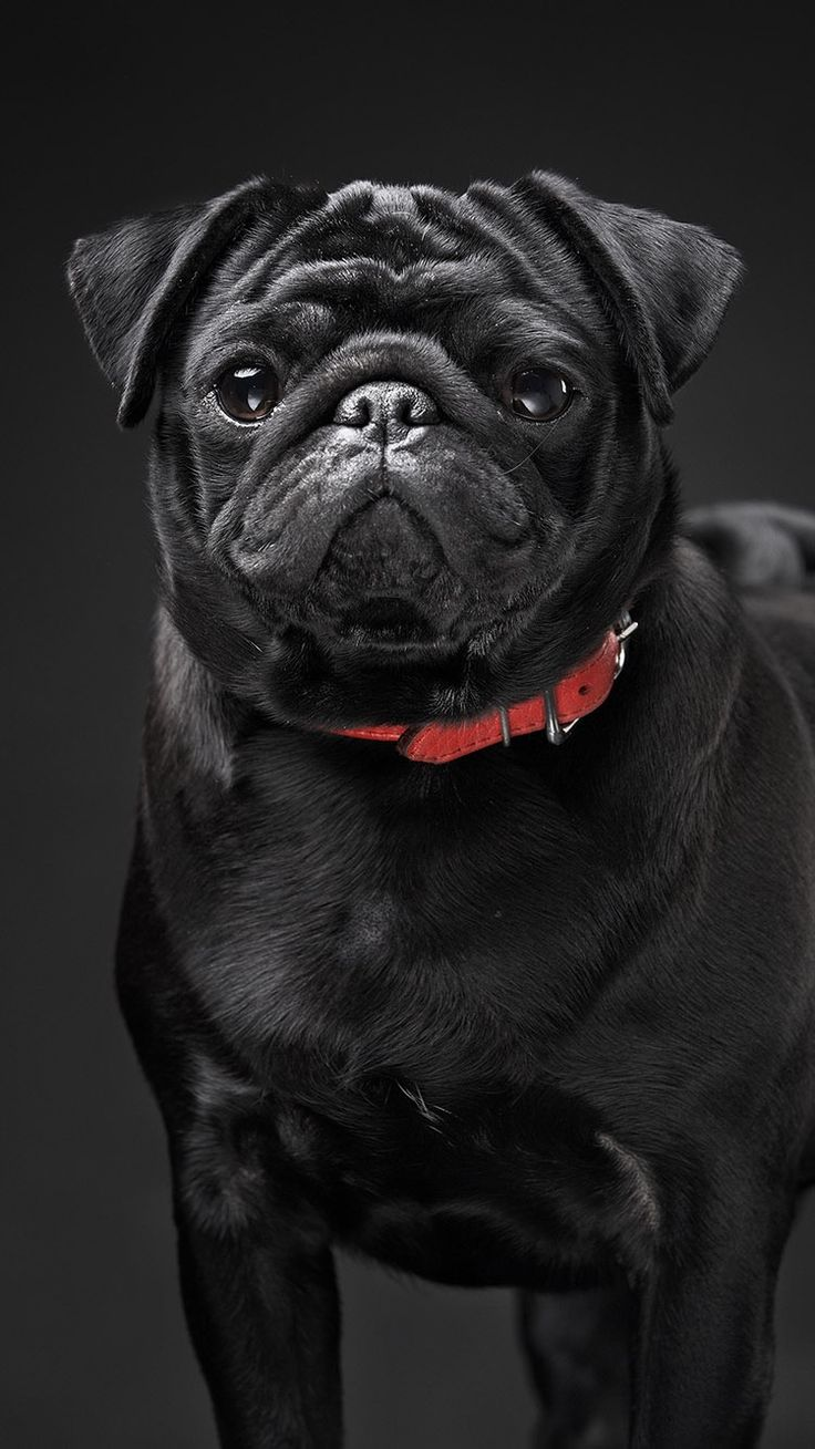 TAP AND GET FREE APP Stylish Black Dog On Background Wallpaper For IPhone