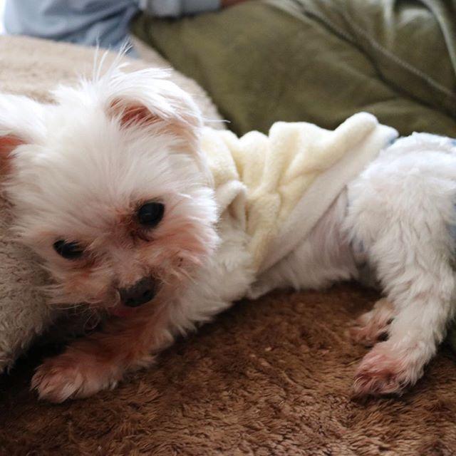 はなちゃんお誕生日おめでとう❤️ 今日4月4日で14歳だね。 まだまだ長生きするでーーーー! #マルチーズ #dog  #痴呆症 #誕生日おめでとう  #愛犬