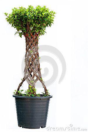 Bonsai Willow Tree Royalty Free Obrázek - Obrázek: 36308496