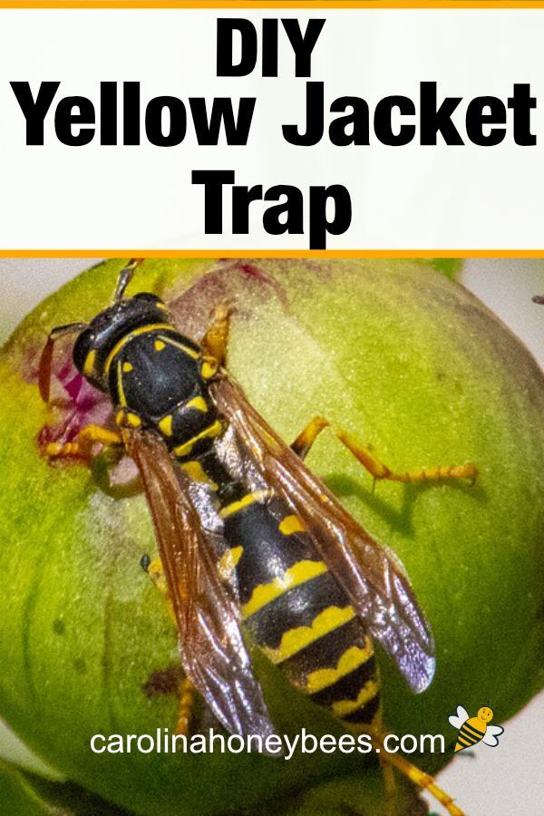 5393e1a4610c7266297129abeeeff911 - How To Get Rid Of Yellow Jackets In House Wall