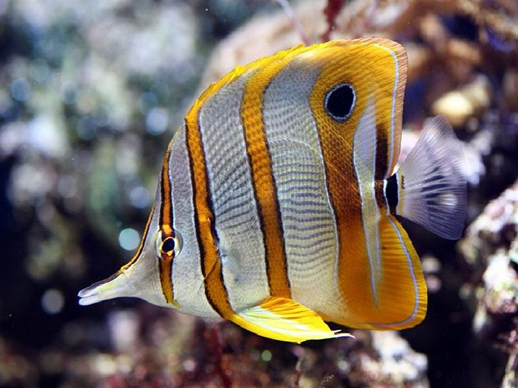 БАБОЧКА ПИНЦЕТ (Chelmon Rostratus) » Домашний аквариум