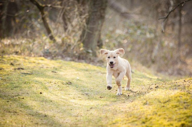 Labrador Freyja in het bos - Meijendel Wassenaar-4