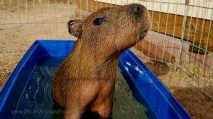 Capybaras For Sale