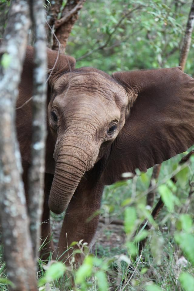 Kainuk was rescued in February 2011, found by tribesmen next to her mother who is suspected to have died due to harsh drought conditions. As we are currently face challenges due to a lack of rainfall in Tsavo in March and April this year, Kainuk would be a fitting choice for a new fostering.