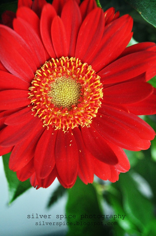 April flower...Red daisy