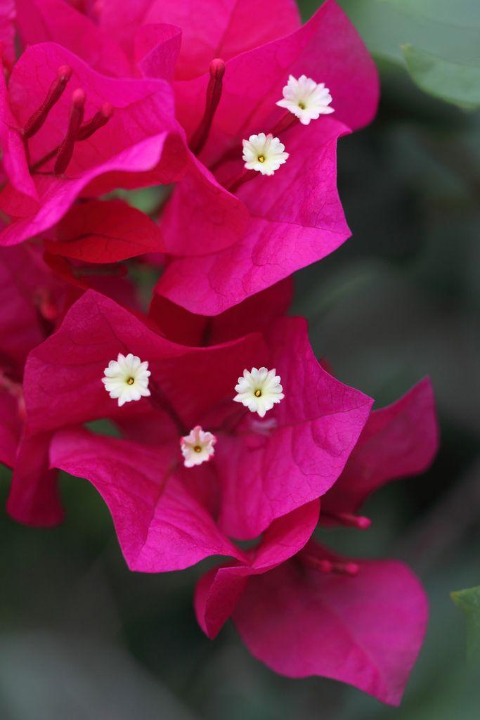 Bougainvillea | Flickr - Photo Sharing!