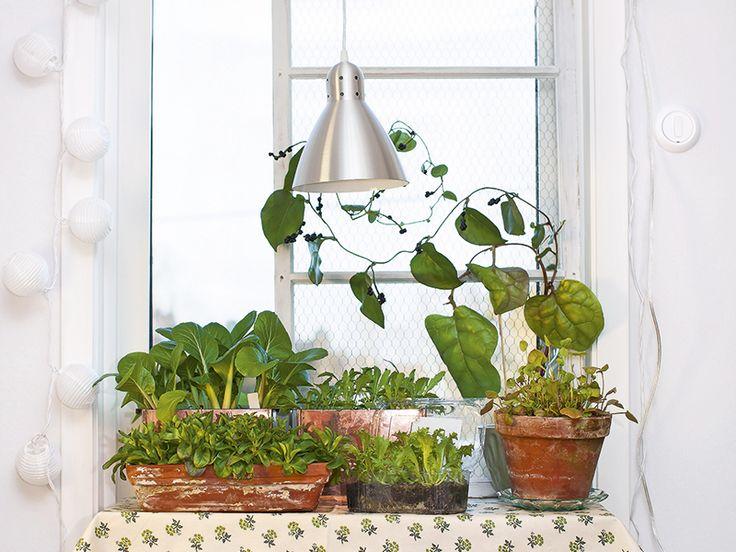 Det går att odla grönsaker inomhus – hela året! Välj rätt sorter och belysning så kan du skörda gröna blad och kryddor.
