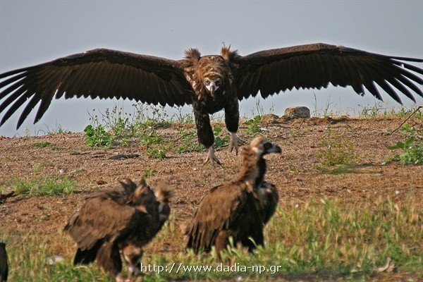 Dadia Forest. The only forest in all Europe, which they live the four European vultures, the black vulture, the vulture, the bearded vulture and the harrier eagle