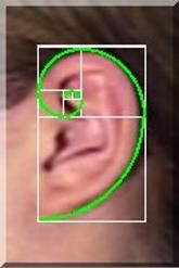 fibonacci spirals in humans - Google Search