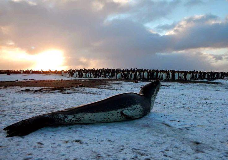 Léopard de mer et manchots - Un hivernage aux îles Kerguelen: septembre 2014