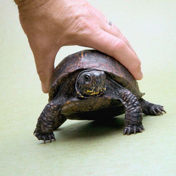 Eastern Box Turtle - Care of Pet Eastern Box Turtles