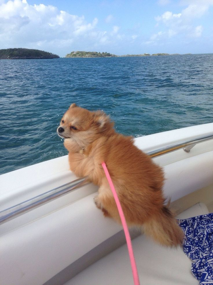 12 Pets Who Are Being Total Divas Right Now Pomeranian