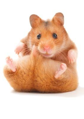 Hamster #postcards