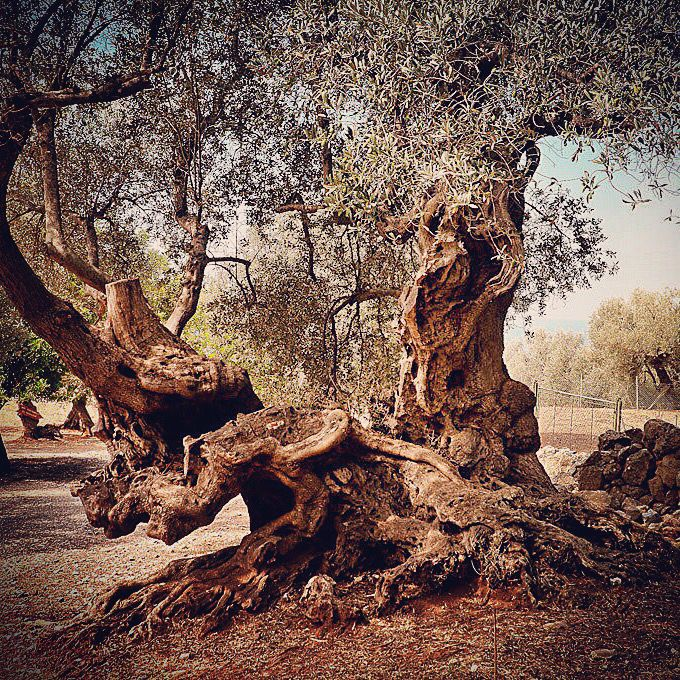 This is a centennial #olivetree that you will only find in a #magic land.. #love #Italy #tree #nature #Tuscany #OliveOil #instagood