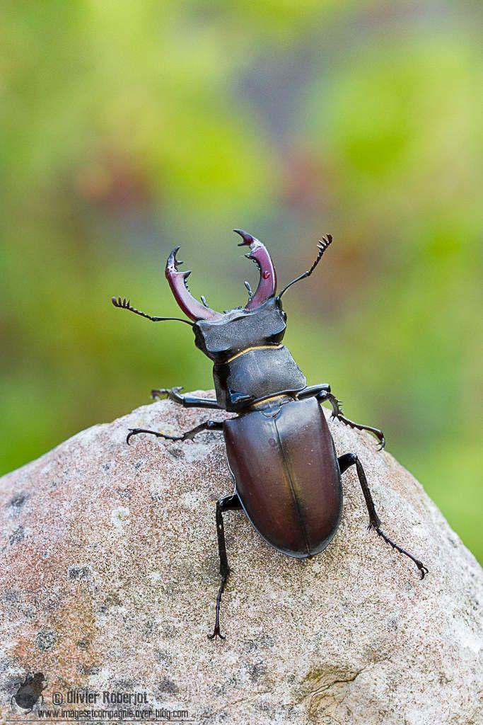 """Voici quelques portraits d'un magnifique Lucane cerf-volant. """"Le Lucane cerf-volant ou Lucanus cervus est un insecte de l'ordre des coléoptères. Cet insecte volant a pour particularité chez les mâles de porter de grosses mandibules en forme de cornes..."""