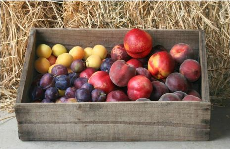 Thornbrook Orchard    Cherries: December - January Sour Cherries: December - January Apricots: December - January Nectarines: January - April Peaches: January - April Plums: January - May Black Muscat Grapes: March - May...