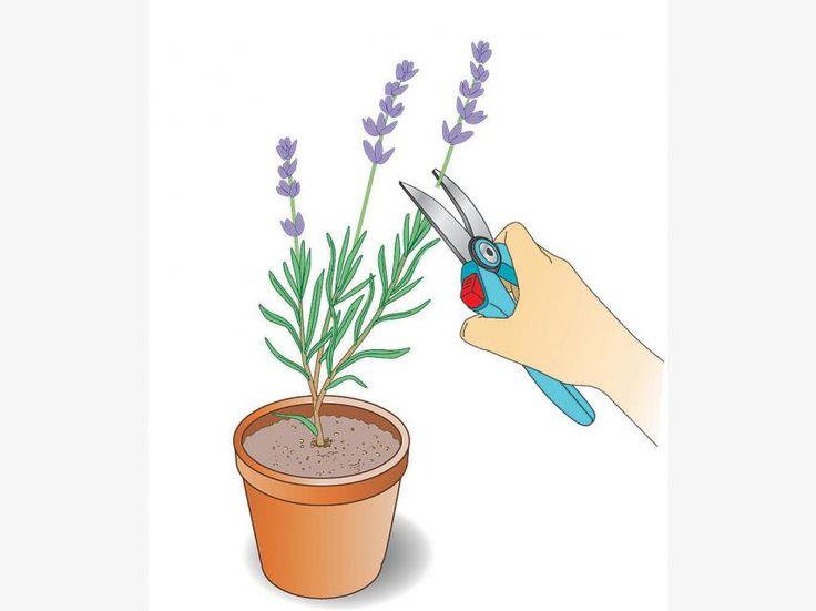 Jungpflanzen mehrmals stutzen
