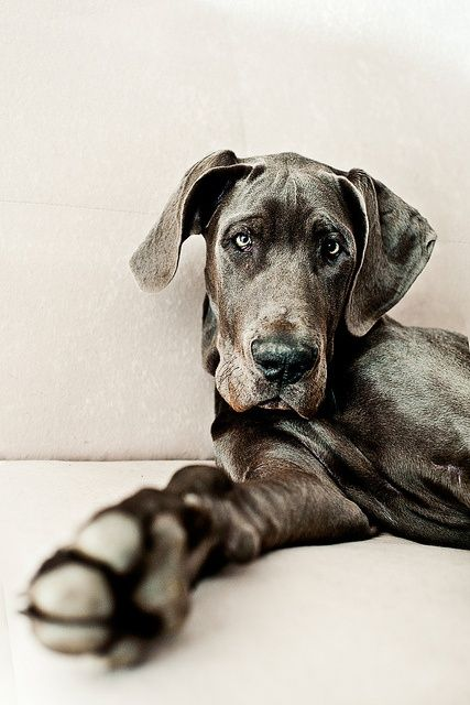 Blue Great Dane.... would love to have a baby like this....