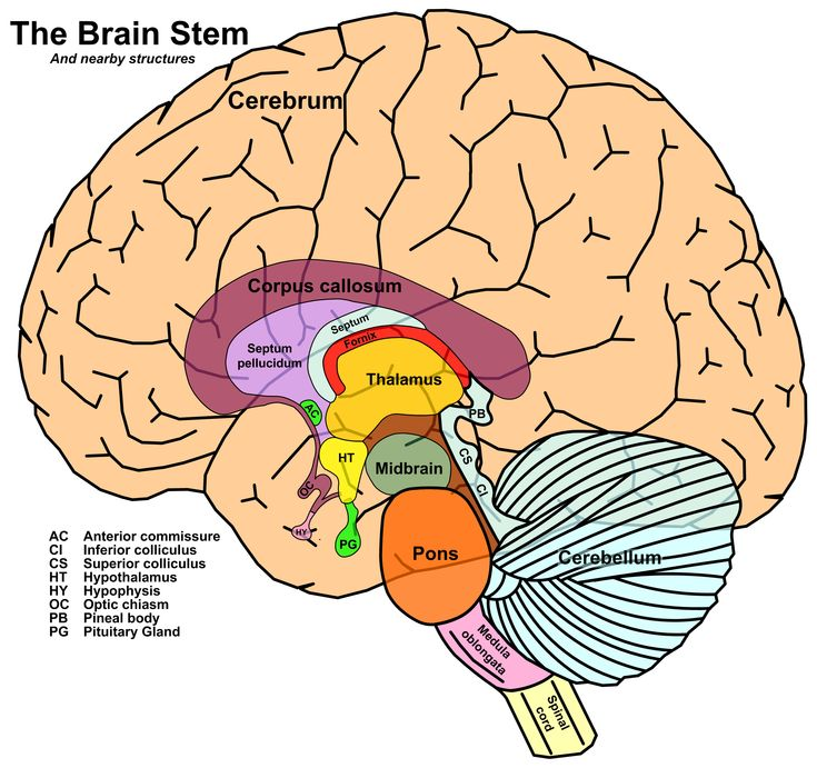 Human Brain Stem Incoming search terms: brainstem brain pictures terms for pictures brain stemribbon