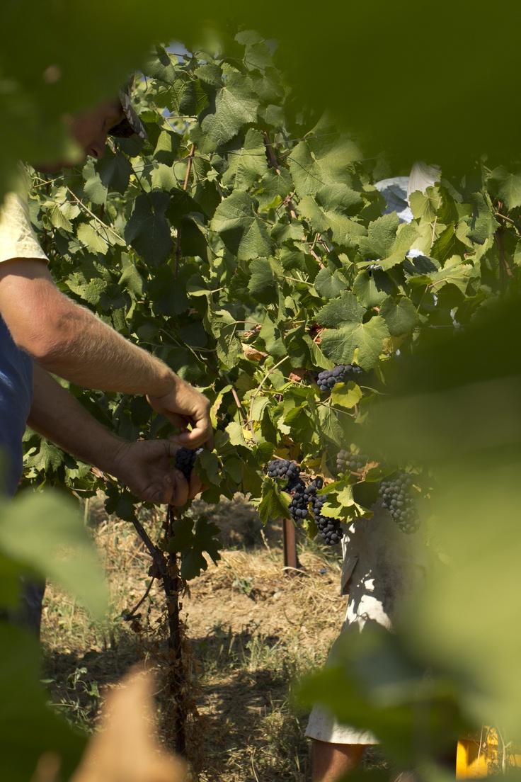 Vendemmia. #harvest #grapes #franciacorta