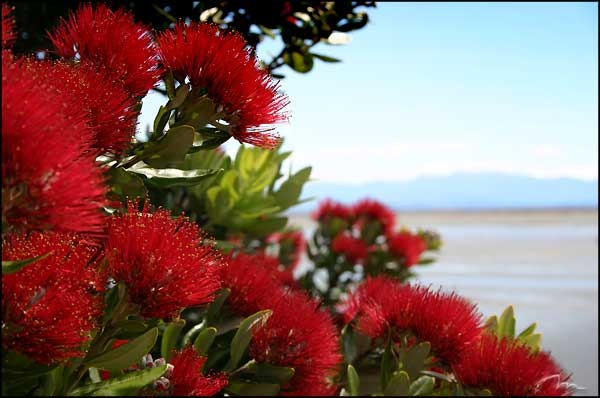 Stunning, the Pohutukawa Tree, native New Zealand Tree (Nz's version of the christmas tree)