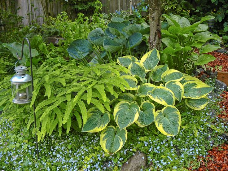 The 434 best images about Hosta Gardening on Pinterest