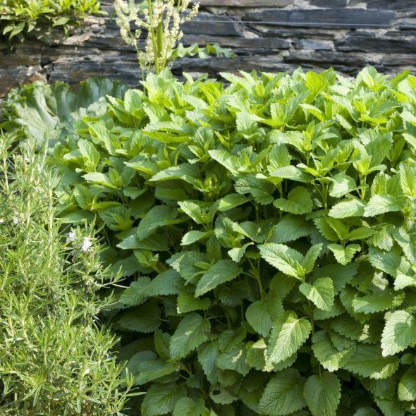 strawberry mint plante aromatique menthe fraise 1 plant aromatic