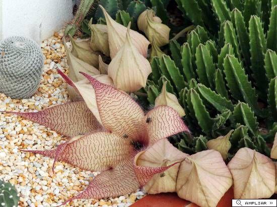 Stapelia gigantea (N. E. Br); Enormes flores, pueden alcanzar los 30 Cm de diámetro. Por desgracia su olor es muy desagradable.