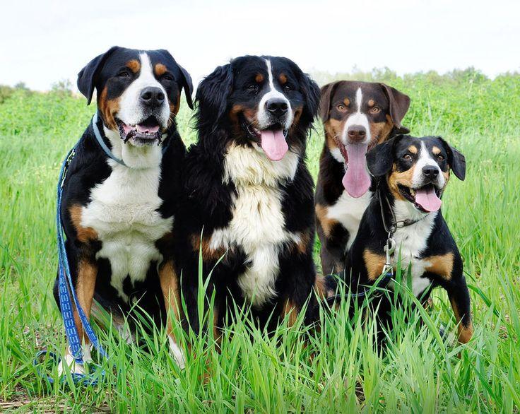 Die vier Sennenhund-Rassen: Grosser Schweizer, Berner, Appenzeller und Entlebucher (v.l.n.r.)