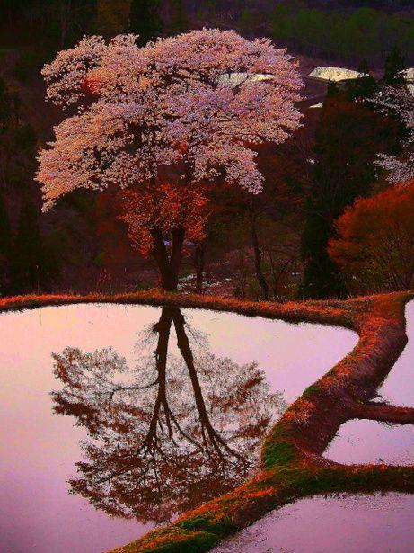 There is a cherry Yoshiaki - Tsunan - was beautiful and lit by the setting sun ☆ ^ ^༺ ♠ ༻*ŦƶȠ*༺ ♠ ༻
