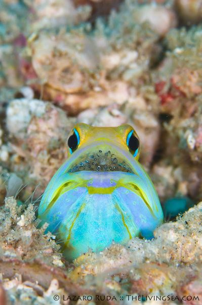 ✯ Yellowhead jawfish eggs by TheLivingSea.com ✯