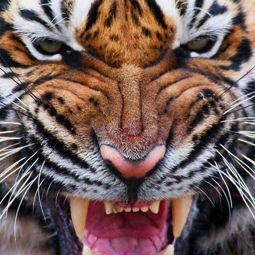 17 Best images about Big cats on Pinterest | Panthers ...